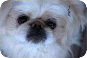Pekingese Dog for adoption in Greensboro, Georgia - Casper