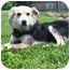 Photo 1 - Collie/German Shepherd Dog Mix Dog for adoption in Latrobe, Pennsylvania - Gordon