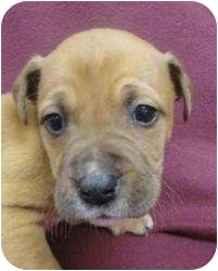 Boxer Mix Puppy for adoption in Spruce Pine, North Carolina - Leeanne