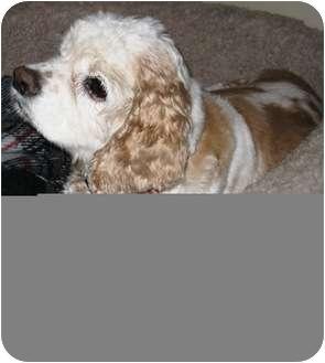 Cocker Spaniel Dog for adoption in Santa Barbara, California - Brooke