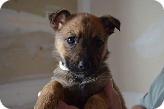 Shepherd (Unknown Type)/Border Collie Mix Puppy for adoption in Westminster, Colorado - Brandi