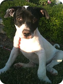 Cattle Dog Mix Puppy for adoption in El Cajon, California - MAY