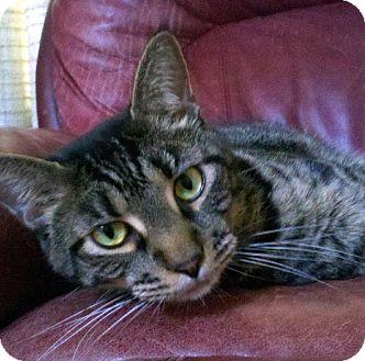 Domestic Shorthair Cat for adoption in Overland Park, Kansas - Milo
