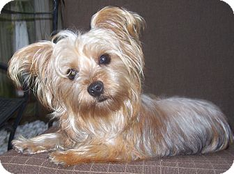 maltese yorkie mix rescue lucy adopted dog cape coral fl maltese yorkie 7713