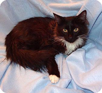 Domestic Longhair Kitten for adoption in Bentonville, Arkansas - Rosco