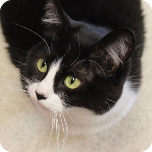 Domestic Shorthair Cat for adoption in Naperville, Illinois - Guapo