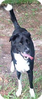 Border Collie Mix Dog for adoption in Tavares, Florida - Finn