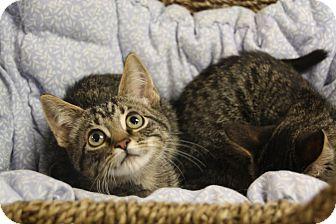 Domestic Shorthair Kitten for adoption in Marietta, Georgia - Velma