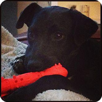 Labrador Retriever Mix Puppy for adoption in Wakefield, Rhode Island - Della