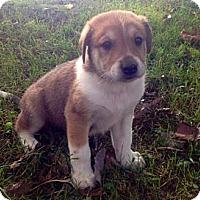 Adopt A Pet :: Braden - Marlton, NJ