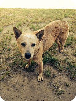 Australian Cattle Dog Dog for adoption in North Little Rock, Arkansas - Gracie