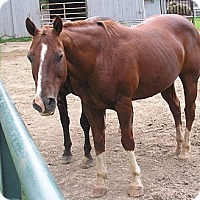 Quarterhorse for adoption in Woodstock, Illinois - Jondalier