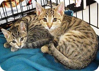 Domestic Shorthair Kitten for adoption in Castro Valley, California - Oprah