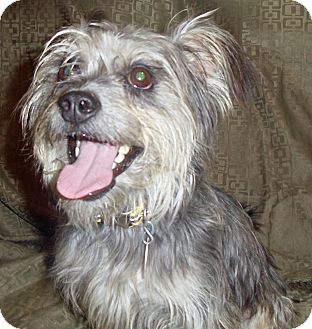 Schnauzer (Standard)/Yorkie, Yorkshire Terrier Mix Dog for adoption in San Antonio, Texas - Gilligan
