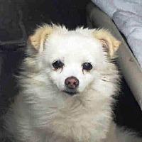 Pomeranian Mix Dog for adoption in Studio City, California - Buttercup
