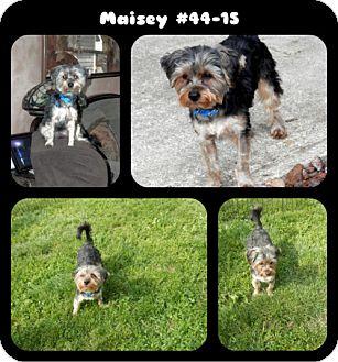 Yorkie, Yorkshire Terrier Mix Puppy for adoption in Huntsville, Missouri - Maisey