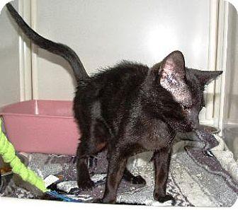 Oriental Kitten for adoption in Wetumpka, Alabama - #80882