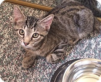Domestic Shorthair Kitten for adoption in Chesterfield Township, Michigan - Larry