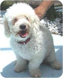 Poodle (Miniature) Dog for adoption in Melbourne, Florida - MILO