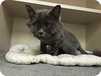 Domestic Shorthair Cat for adoption in Denver, Colorado - Grandma Kitty
