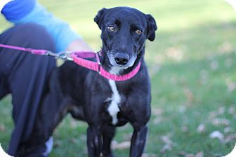 Australian Cattle Dog Mix Dog for adoption in Midland, Michigan - Bella
