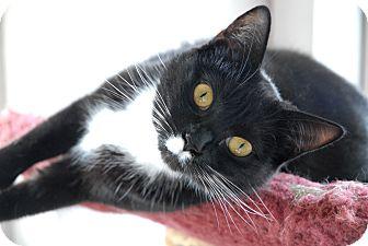 Domestic Shorthair Cat for adoption in Winchendon, Massachusetts - Janet