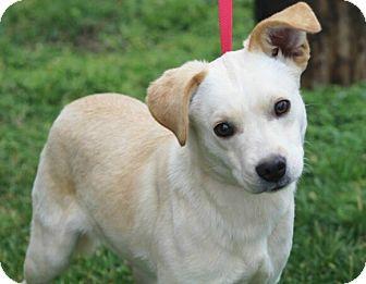 Australian Shepherd/Labrador Retriever Mix Puppy for adoption in Liberty Center, Ohio - Laddie