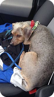 Chinese Crested/Yorkie, Yorkshire Terrier Mix Dog for adoption in New Port Richey, Florida - Wags