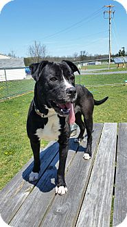Terrier (Unknown Type, Medium) Mix Dog for adoption in Chambersburg, Pennsylvania - Buddy