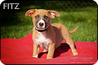 Boxer/German Shepherd Dog Mix Puppy for adoption in Cincinnati, Ohio - Fitz