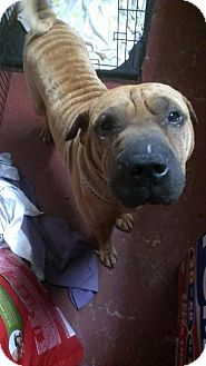 Shar Pei Dog for adoption in Jarrell, Texas - Maximus
