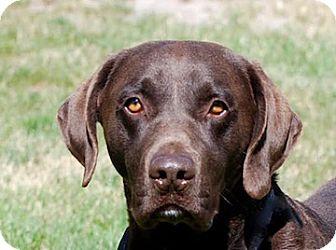 Labrador Retriever Mix Dog for adoption in Portola, California - Pistol