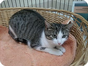 Domestic Shorthair Cat for adoption in Mine Hill, New Jersey - Daffney