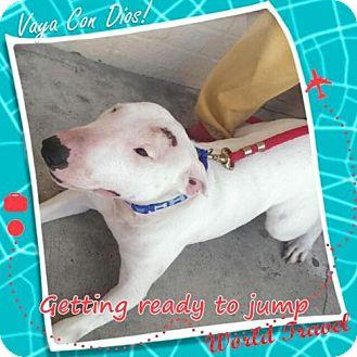 Bull Terrier Dog for adoption in Von Ormy, Texas - Chico (KS)