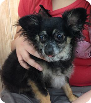 Chihuahua Mix Dog for adoption in Inverness, Florida - Little Man