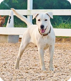 Labrador Retriever Mix Dog for adoption in Kittery, Maine - SASHA
