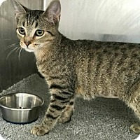Domestic Shorthair Cat for adoption in Hilton Head, South Carolina - Edwina