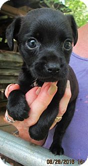 Chihuahua/Feist Mix Puppy for adoption in Oswego, New York - BRODIE