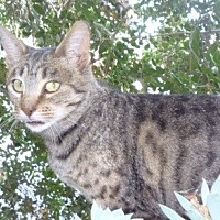 Domestic Shorthair Cat for adoption in Hollister, California - Sweet Pea