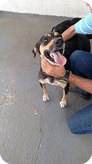 Labrador Retriever/Shepherd (Unknown Type) Mix Dog for adoption in Providence, Rhode Island - Jane