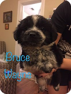 Spaniel (Unknown Type) Mix Puppy for adoption in Fort Atkinson, Wisconsin - Bruce Wayne