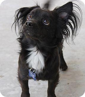 Papillon Mix Dog for adoption in Las Vegas, Nevada - Joey