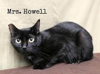 Domestic Shorthair Cat for adoption in Florence, Kentucky - Lovey-Mrs. Thurston Howell lll