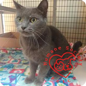 Domestic Shorthair Cat for adoption in Janesville, Wisconsin - Mishka