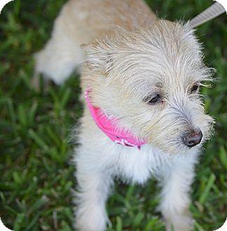 Schnauzer (Miniature)/Terrier (Unknown Type, Small) Mix Puppy for adoption in San Leon, Texas - Tasha