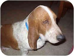 Basset Hound Dog for adoption in Phoenix, Arizona - Elvis