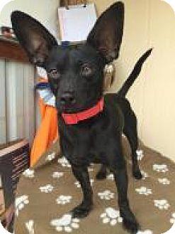 Dachshund/Chihuahua Mix Dog for adoption in Elk Grove, California - DRIVER