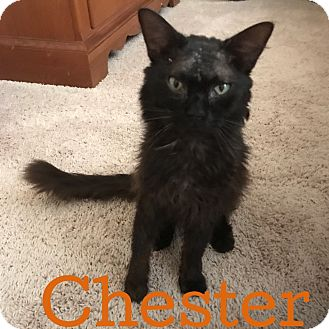 Domestic Mediumhair Cat for adoption in Bentonville, Arkansas - Chester
