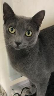 Domestic Shorthair/Domestic Shorthair Mix Cat for adoption in Cumming, Georgia - Stewie 479-17