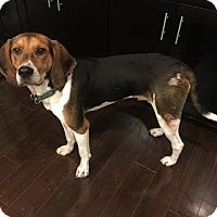 Adopt A Pet :: Stetson - Rockville, MD
